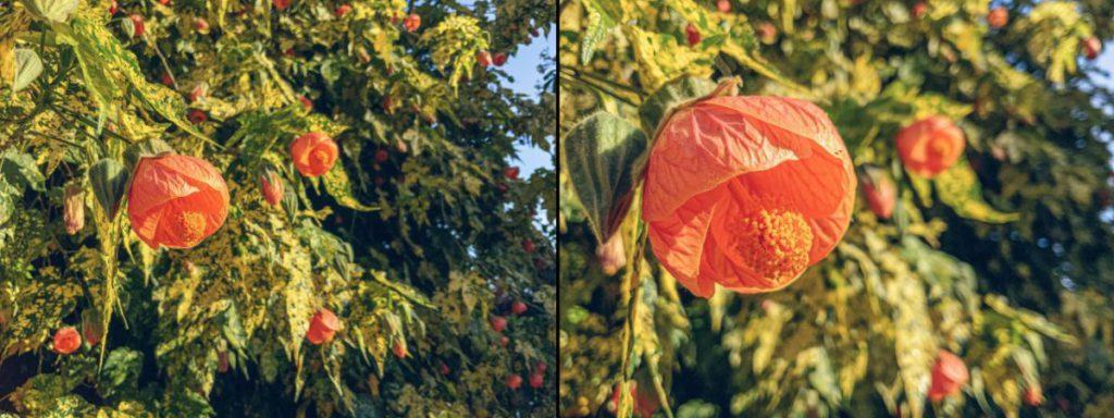Sebastiaan 對 iPhone 與新 iPad Pro 對焦距離比較,可見新 iPad Pro 可以在更近距離拍攝花卉。